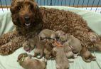Šunų poravimas ir kalės nėštumas