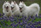 Šuo - užkrečiamų ligų platintojas