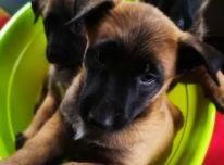 Parduodame Belgų aviganių Malinua šuniukus.