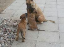 Parduodame belgų aviganių malinua veisles šuniukus