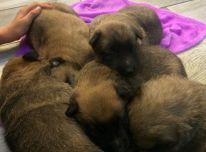Belgų aviganių šuniukų rezervacija