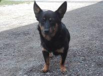 Rastas dingęs šuo Anykščių miškų urėdijoje.