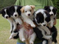 Border Koli šuniukai