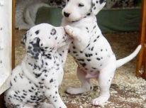 Dalmatinu Šuniukai!