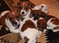 Džeko Raselo terjeru šuniukai