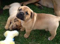 Bulmastifu šuniukai