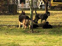 Dovanojame vokiečių aviganės šuniukus