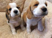 Beagle šuniukai