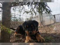 Lietuvių skalikų šuniukai(Rotveileris)