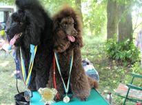 Veislynas parduoda mažojo pudelio  tituluotos poros šuniukus su kilmės dokumentais.