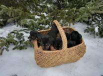 jagdterjerų šuniukai