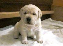 Kilmingi Labradoro retriverių šuniukai (lkd/fci)
