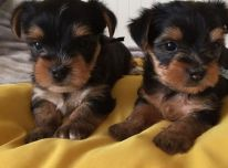 Vyrų ir moterų Jorkšyro terjero šuniukai