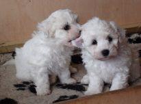 nuostabūs bichono maltiečių šuniukai