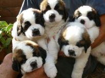 Senbernarai šuniukai