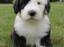 Gražūs bobtail šuniukai