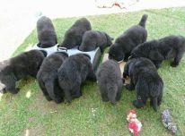 Niufaulendukai šuniukus