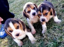 Biglių veislės šuniukai