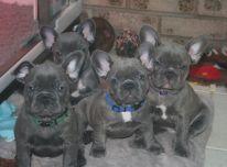 Kokybės prancūzų buldogas šuniukai