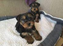 Gražūs Jorkšyro terjerų šuniukai