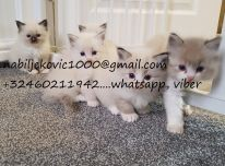 Pilnas Pedigree Ragdoll kačiukai
