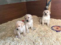 Parduodami Labradoro šuniukai