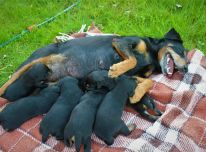 Parduosiu Jagdterjerų veislės šuniukus su kilmės dokumentais