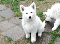 Baltieji šveicarų aviganiai