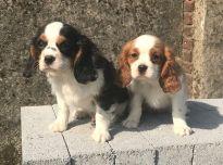 Cavalier King Charles spanielių šunys ir šuniukai parduodami