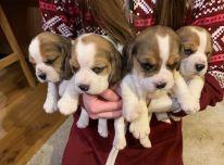 Parduodami Beagle šuniukai