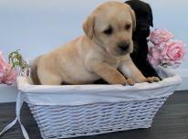 Labradoro retriverių šunys ir šuniukai parduodami