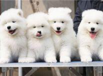 6 Gražūs sveiki samojedų šuniukai