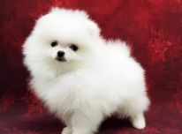 """Pomeranian"""" šuniukai parduodam"""