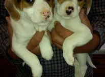 Jack Russell šuniukai pasiruošę parduoti naują namą