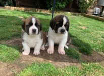 Gražūs Šv. Bernardo šuniukai pasiruošę parduoti