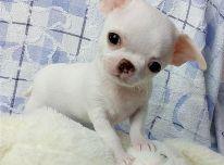 Chihuahua šunys ir šuniukai parduodami