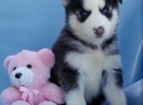 Gražūs Sibiro Husky šuniukai