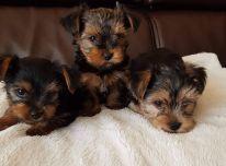 Jorkšyro šuniukai