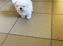 Maltos bišono šuniukas