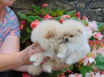 Sveiki vyriški ir moteriški Pomeranijos šuniukai