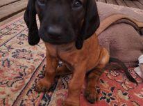 Bavarų kraujasekių šuniukai su kilmės dokumentais
