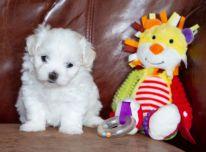 Parduodami Maltos šunys ir šuniukai