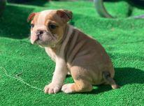 Parduodami anglų buldogų šunys ir šuniukai