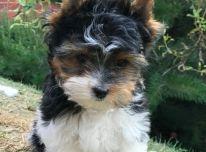 Parduodami Jorkšyro terjerų šunys ir šuniukai