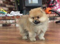 Parduodami gražūs Pomeranijos šuniukai