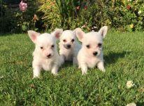Parduodami Čihuahua šunys ir šuniukai