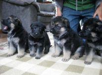 Parduodami vokiečių aviganiai ir šuniukai