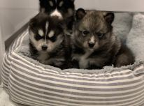 Stulbinantys Pomsky šuniukai