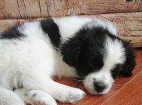 Dovanojame jauna 2menesiu šuniuka