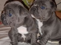 žavingi prancūzų buldogų šuniukai
